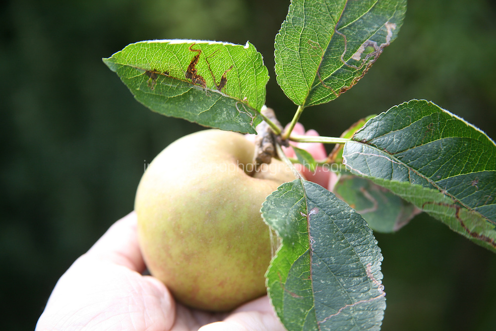 Hand holding a freshly picked apple in an Irish garden