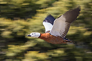 Paradise Shelduck in flight, New Zealand