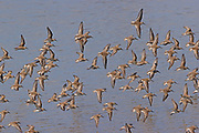 A flock of western sandpipers (Calidris mauri) flies low over the water of Port Gardner near Everett, Washington. They breed on the tundra in Alaska and eastern Siberia and winter along the coasts of North America and the Caribbean. The western sandpiper has one of the largest populations of any shorebird species with numbers in the millions.