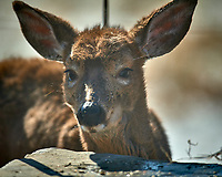 Young, sickly looking deer on my patio. Image taken with a Nikon D5 camera and 600 mm f/4 VR lens (ISO 125, 600 mm, f/4, 1/1250 sec).