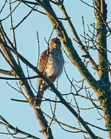 Cooper's Hawk. Image taken with a Nikon 1 V3 camera and 70-300 mm VR lens.