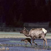 Elk, (Cervus elaphus) cow and calf crossing swollen river with strong current.