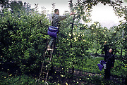 Picking apples in the Bordeaux region, France