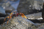 Fernando de Noronha_PE, Brasil.<br /> <br /> Imagens do Parque Nacional Marinho de Fernando de Noronha, Pernambuco. Na foto Caranguejo.<br /> <br /> Fernando de Noronha Marine National Park in Pernambuco. In this photo a crab.<br /> <br /> Foto: JOAO MARCOS ROSA / NITRO
