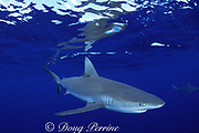 Galapagos shark, Carcharhinus galapagensis, with copepod parasites around eye; North Shore, Oahu, Hawaii, USA ( Central Pacific Ocean )