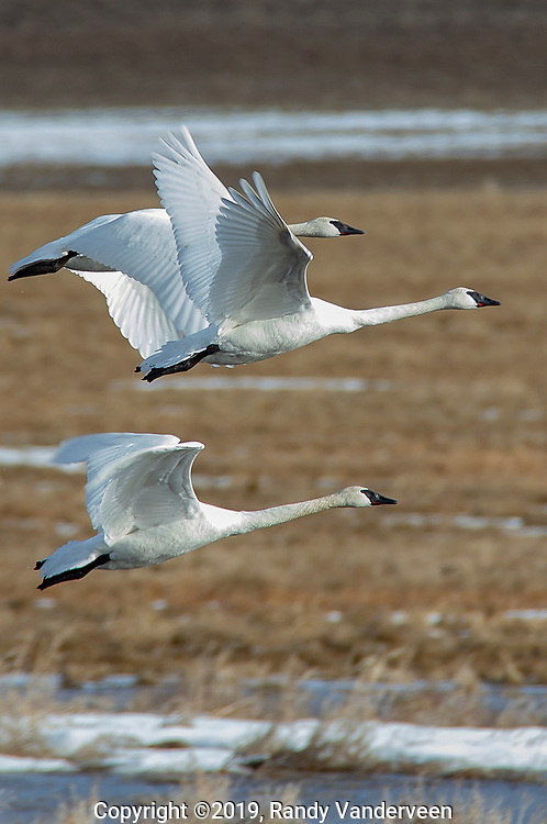 Photo Randy Vanderveen<br /> 2019-04-02<br /> Grande Prairie, Alberta<br /> It feels like a sign of spring's arrival as swans have arrived back in the Peace Country. While some of the trumpeter swans will nest around here — others and the tundra swans that flew north with them will head ot more northerly nesting grounds soon.