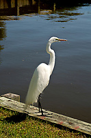 NC01406-00...NORTH CAROLINA - A Great White Heron fishing in the boat house pond at the Whalehead Club on the Outer Banks at Corrola.