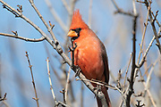 Photograph of a Northern Cardinal from the Cave Creek Ranch, AZ