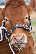 Champion pedigree British Limousin bull at Moreton Show, Moreton-in-the-Marsh, The Cotswolds, Gloucestershire, UK