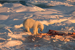 Ivory gull (Pagophila eburnea)  and Polar bear (Ursus maritimus) at a seal kill on drifting ice at 82 degree North in September, Svalbard, Norway