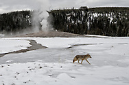 A coyote walks past the cone of Old Faithful Geyser soon after an eruption.