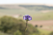 Round-headed rampion (Phyteuma orbiculare) above Castle Hill NNR. Sussex, UK.