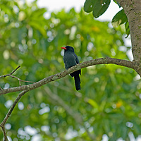 A Black-fronted Nunbird (Monasa nigrifrons) perches on a branch in Peru's Amazon Jungle.