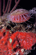 flame scallop or file shell, Lima scabra, <br /> and red sponge, Miami, Florida, <br /> ( Western Atlantic Ocean )