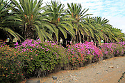 Bougainvillea plants flowering and palm fronds, Pajara, Fuerteventura, Canary Islands, Spain