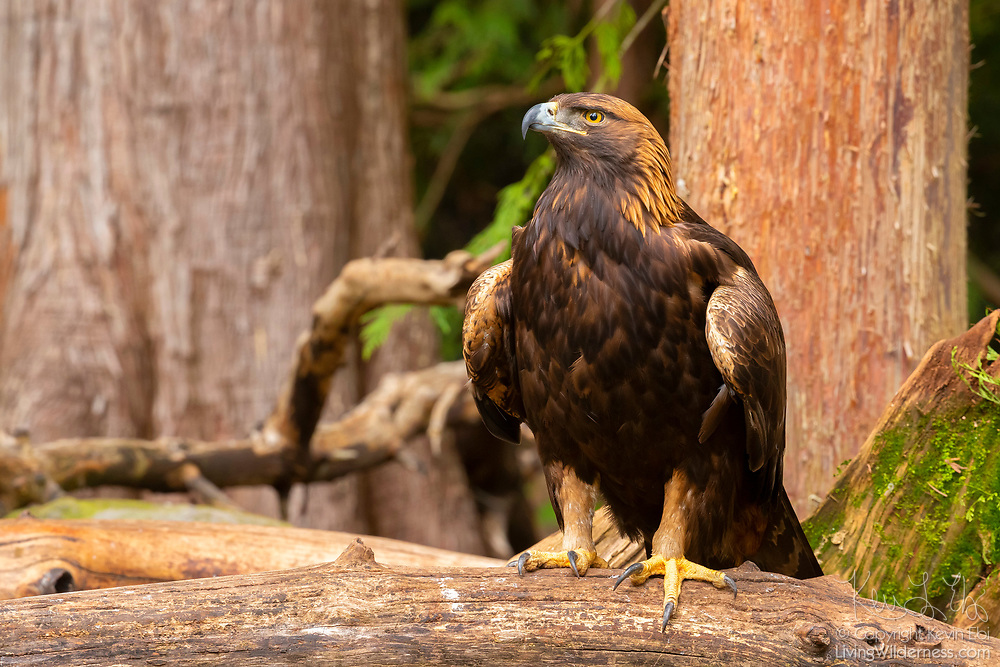 An American Golden Eagle (Aquila chrysaetos canadensis) rests on a log in an animal santuary in Washington state. The injured eagle was under the care of sanctuary staff. The Golden Eagle is the most common eagle. This particular subspecies is commonly found throughout the western United States and Canada.