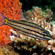 Fivelined Cardinalfish inhabit reefs. Picture taken Lembeh Straits, Sulawesi, Indonesia.