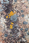 Orange Xanthoria and black Verrucaria lichens on pink granite outcrop in Acadia National Park, Maine