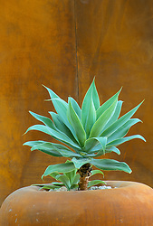 Architectural planting of Agave in large rusty container in front of a rusty wall