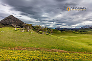 Yellow pea wildflowers and Haystack Butte near Augusta, Montana, USA