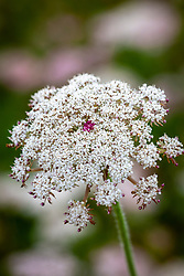 Wild carrot - showing distinctive red spot. Daucus carota. Queen Anne's Lace