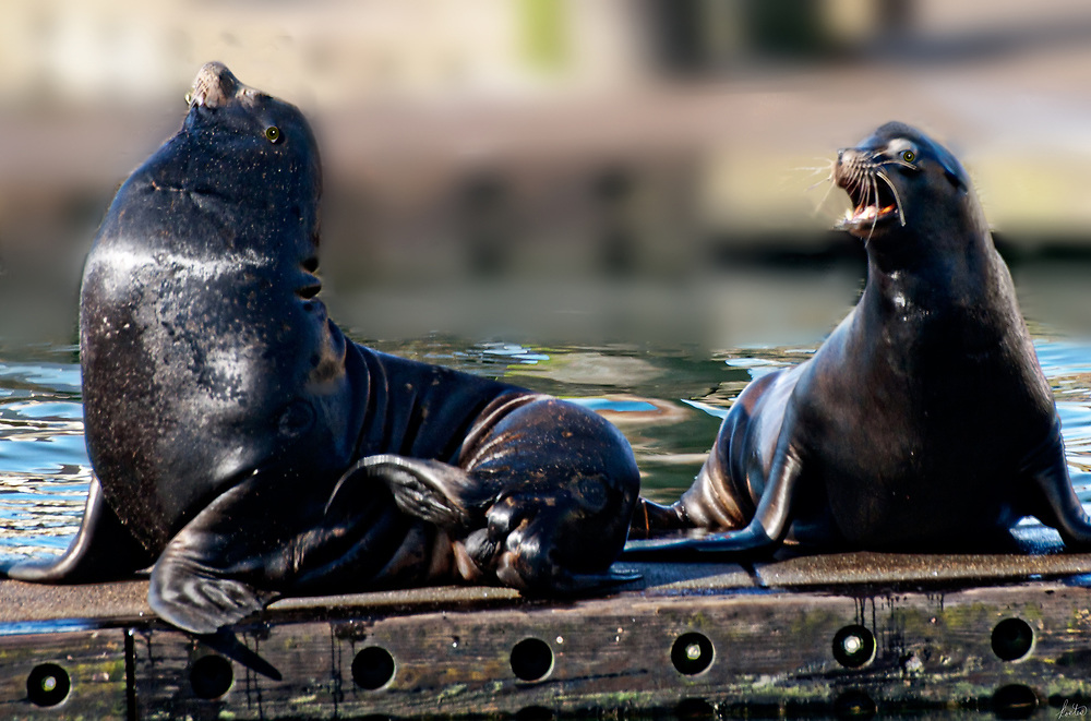 A pair of sea lions on a dock in the harbor.