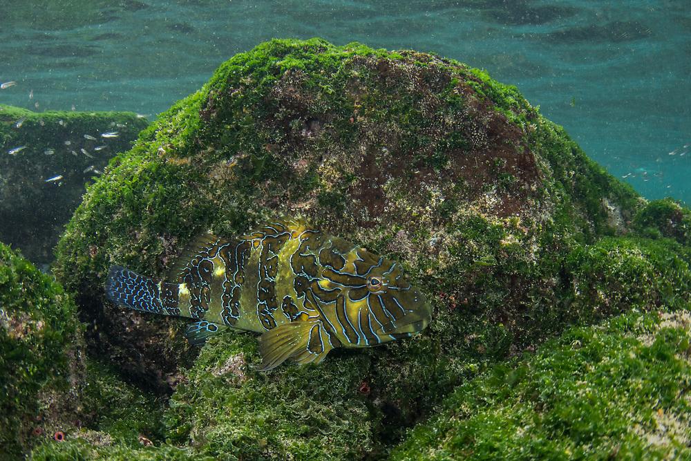 Giant Hawkfish or Hieroglyphic Hawkfish (Cirrhitus rivulatus)<br /> Puerto Egas, Santiago Island<br /> Galapagos<br /> Ecuador, South America