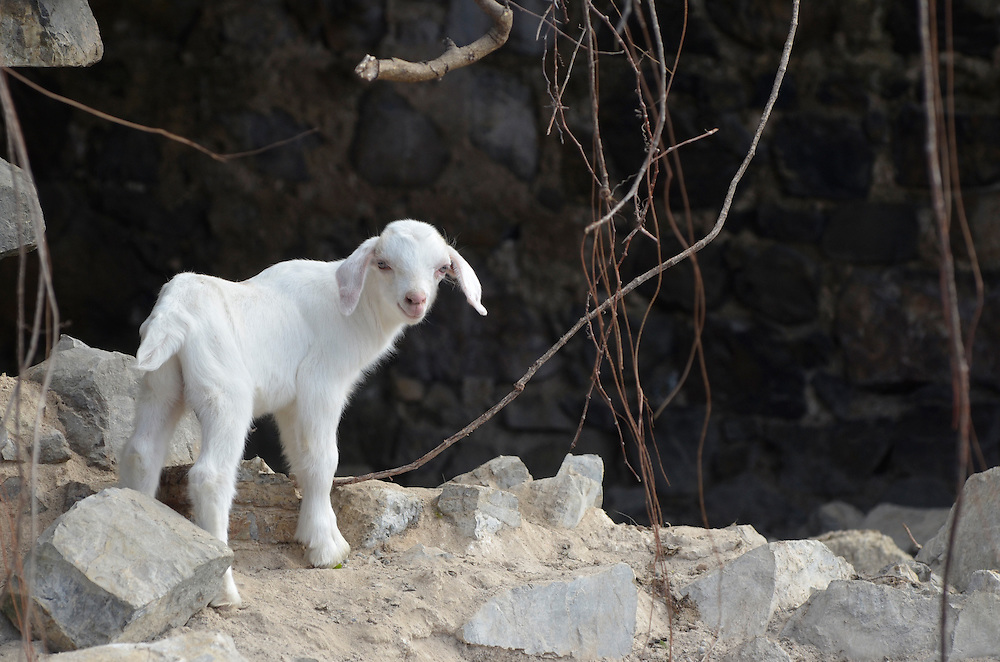 Goat at the ruins of an old sugar mill at Watcho Beach, St. Croix, U.S. Virgin Islands.
