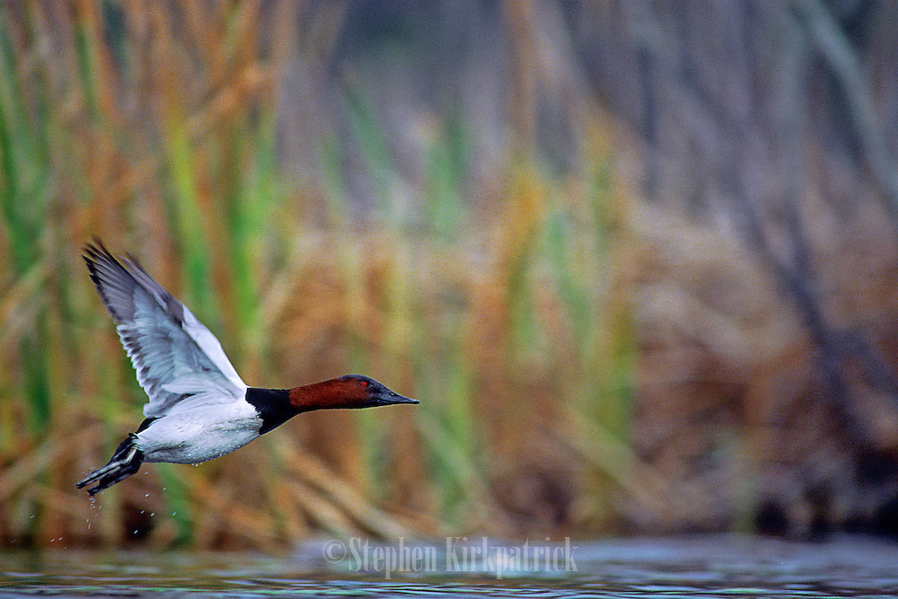Canvasback taking off from a small lake near the Atlantic coast - South Carolina.