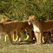 African Lion (Panthera leo) Lion Pride. Masai Mara National Park. Kenya. Africa.