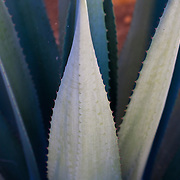 Succulent type plant with light gradients. Namibia.