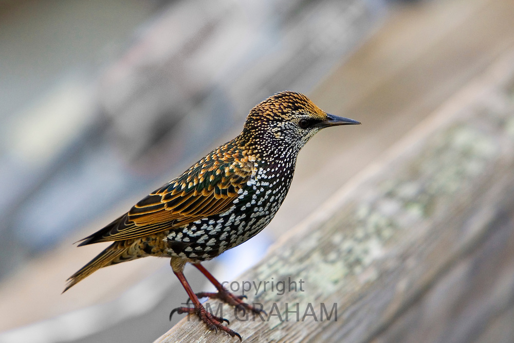 Starling by San Francisco bay, California, United States of America