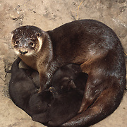 River otter (Lontra canadensis) mother with her newborn pups in a den, Montana. Captive Animal