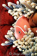 pink anemonefish, Amphiprion perideraion, in magnificent sea anemone, Heteractis magnifica, Emma's North Reef, Kimbe Bay, New Britain, Papua New Guinea ( South Pacific )