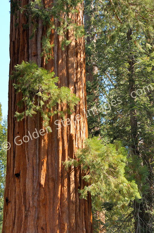 Giant Sequioa. <br /> <br /> Species: Sequoiadendron giganteum