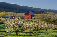 Red Barn in orchards, Hood River Valley