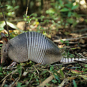 An adult nine-banded Armadillo grabbing for insects in a forest. Florida