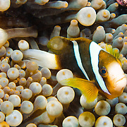 An anemone fish hides amongst the anemone on Swains Reef on Australia's Great Barrier Reef.