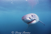 great white shark, white pointer, blue pointer, or man-eater<br /> Carcharodon carcharias, Dyer Island, Gansbaai, South Africa ( Indian Ocean )