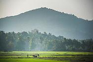 Rice paddy fields, Palolem, Goa, India