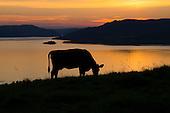 Cattle on pasture - Storfe på beite