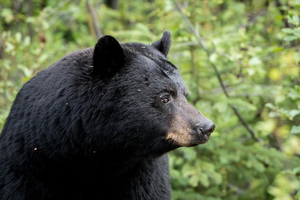 Black bear, Jasper National Park, Alberta, Canada
