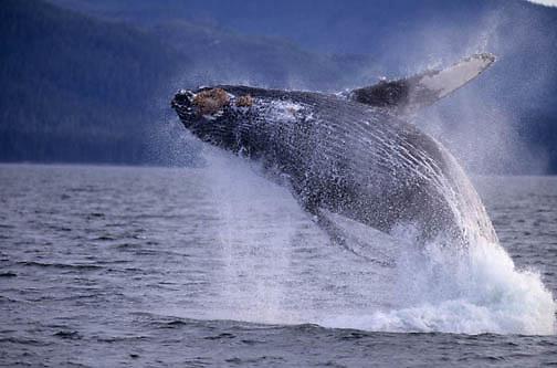 Humpback Whale, (Megaptera novaeangliae) Breaching. Southeast waters of Alaska.