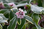 A close-up of Daphne bhola 'Jacqueline Postill' covered with frost in the garden at Chiswick House, Chiswick, London, UK