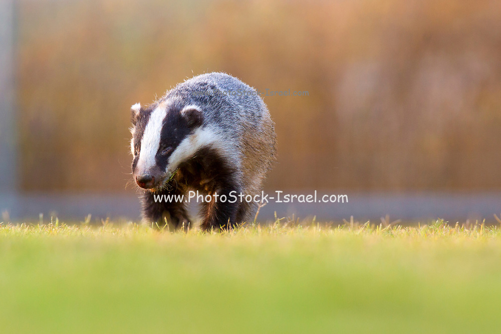 European badger (Meles meles). This relatively large mammal, found in most areas of mainland Europe, is related to the much smaller weasels, stoats and otters. Unlike its smaller relatives, it is omnivorous rather than carnivorous, eating mainly worms, as well as insects, small mammals, birds, reptiles, fruit, roots and nuts. Reaching a body length of around 70 centimetres, it has characteristic black and white stripes on its face. Photographed in Israel in June