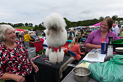 © Licensed to London News Pictures. 20/08/2017. Llanelwedd, Powys, UK. Blake, a Standard Poodle, gets groomed before judging on the last day of The Welsh Kennel Club Dog Show, held at the Royal Welsh Showground, Llanelwedd in Powys, Wales, UK. Photo credit: Graham M. Lawrence/LNP