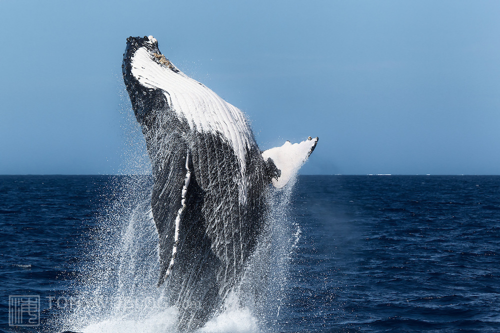 One of a pair of humpback whales (Megaptera novaeangliae) that took turns breaching for an extended duration. Photographed in Vava'u, Kingdom of Tonga.