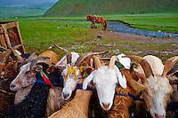 Mongolie, province de Bayankhongor, traite des chevres sous la neige // Mongolia, Bayankhongor province, milk the goat under snow