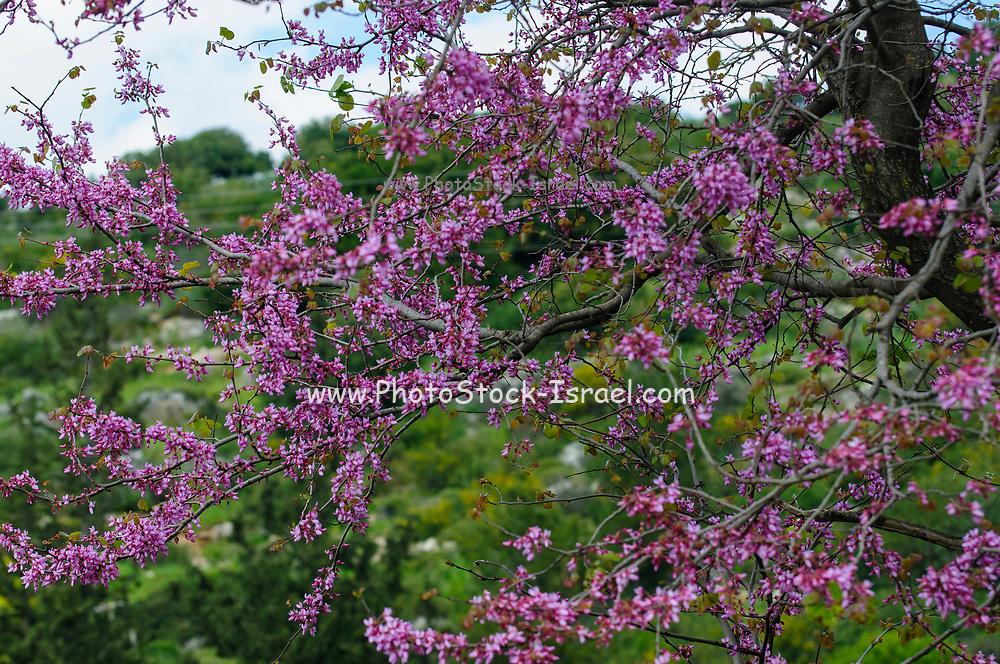 Flowering Judas Tree Cercis siliquastrum Photographed in Israel in March