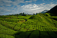 Malaysia. Green rows of tea fields in Cameron Highlands.